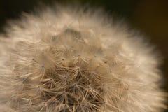 dandelion wieczór zaświecający słońce Zdjęcie Stock