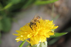 DANDELION WITH WILD BEE stock photos
