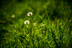 Dandelion. Wild meadow bokeh nature grass royalty free stock photography