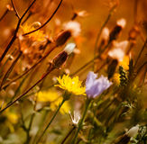 Dandelion and wildflowers Royalty Free Stock Photography