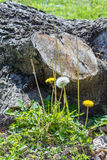 Dandelion and Wildflowers Near the Stump Royalty Free Stock Photos