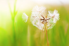 Dandelion In The Wind Royalty Free Stock Image