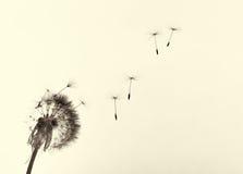Dandelion in wind stock photography