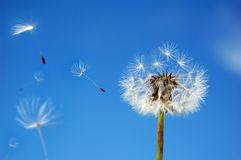 Dandelion in the Wind Stock Image