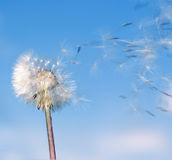 Dandelion wind. Dandelion. A spring flower on a background of the blue sky royalty free stock image