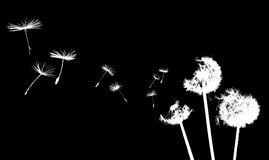 Dandelion in the wind. On black Royalty Free Stock Images