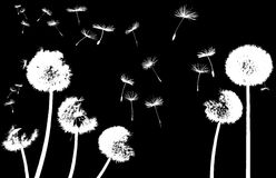 Dandelion in the wind. Silhouettes of dandelions in the wind on black background Stock Photos