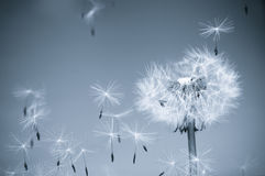 DANDELION IN THE WIND Stock Images