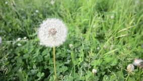 Dandelion on wind. Background in summer stock footage
