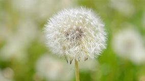 Dandelion from the wind close-up. White dandelion reeling from the wind close-up stock footage
