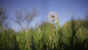 Dandelion in the wind. In a countryside yard stock video