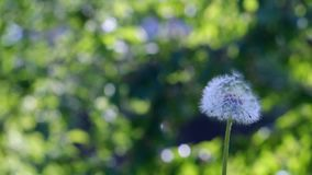 Dandelion in the wind. Scatters its seeds on a blurred background stock video footage