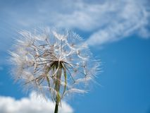 Dandelion on the wind Royalty Free Stock Photos
