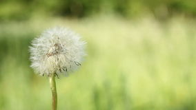 Dandelion on the wind on the meadow Royalty Free Stock Images