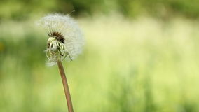 Dandelion on the wind on the meadow Royalty Free Stock Photography