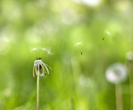 Dandelion in the wind on meadow Stock Photography