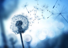 Dandelion In The Wind. Dandelion seeds blowing in the wind across a cool field background, conceptual image meaning change, growth, movement and direction stock image