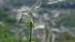 Dandelion and wind. At sunny day stock video footage