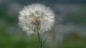 Dandelion and wind. At sunny day stock video