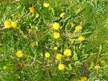 Dandelion, wiosna/kwitniemy tło fotografia stock