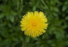 Dandelion wiosny gazonu kwiatu Odgórne świrzepy Zdjęcie Stock