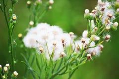 Dandelion Wishes stock photos