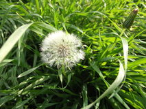 Dandelion withered. Spring dandelion, which zakochil blossom and soon throw the seeds Royalty Free Stock Photos