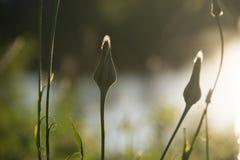 Dandelion wokoło kwitnąć blisko jeziora zdjęcie royalty free