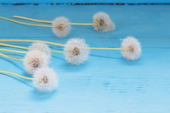Dandelion on wooden blue background Royalty Free Stock Photography