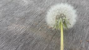 Dandelion on a wooden table. Background of a tree and a dandelion.  stock video