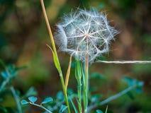 Dandelion wymarzony łapacz zamknięty w górę fotografia royalty free
