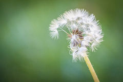 Dandelion 'clock' Stock Images