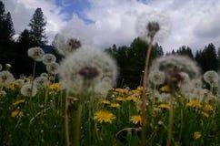 Dandelion życzenie Zdjęcie Stock