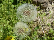 Dandelion 6. Yellow dandelion blooming under the rays of the gentle sun Royalty Free Stock Photos