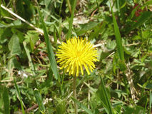 Dandelion. Yellow dandelion blooming under the rays of the gentle sun Royalty Free Stock Photos