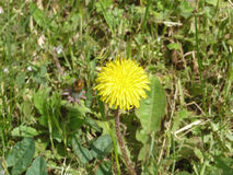 Dandelion. Yellow dandelion blooming under the rays of the gentle sun Stock Images
