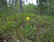 Dandelion. Yellow dandelion. Stock Photography