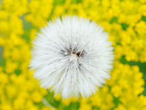 Dandelion in Yellow Field Royalty Free Stock Photo