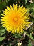 Dandelion. Yellow dandelion flower Stock Image