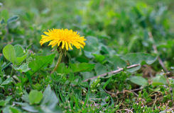 Dandelion yellow flower on a background of green grass. Dandelion yellow flower on a background of green grass in sunlight Royalty Free Stock Photo