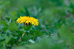 Dandelion yellow flower on a background of green grass. Dandelion yellow flower on a background of green grass in sunlight Stock Image