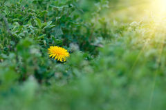 Dandelion yellow flower on a background of green grass. Dandelion yellow flower on a background of green grass in sunlight Stock Photo