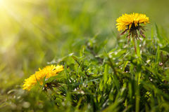 Dandelion yellow flower on a background of green grass. Dandelion yellow flower on a background of green grass in sunlight Stock Photos