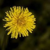 Dandelion. Yellow Flower of dandelion on black Stock Images