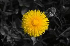 Dandelion Yellow Flower Stock Photos