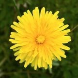 Dandelion Yellow Flower Petals Stock Photography