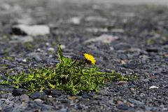 Dandelion with yellow flower, survival artist weed on a gravel r Stock Photos