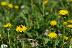 Dandelion yellow flowers in the field with blurred green grass background. Many yellow dandelion flowers in the field with green grass and blurred background royalty free stock image