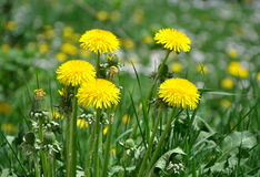 Dandelion yellow Stock Photography