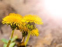 Dandelion yellow flowers in the sunlight.  Stock Image